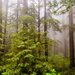 Fog in the Redwoods by photograndma