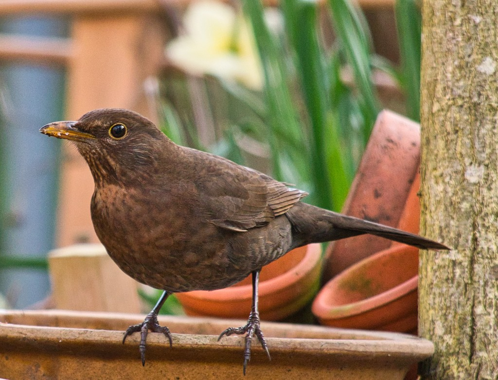 Female Blackbird. by tonygig