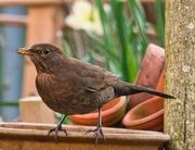 28th Mar 2020 - Female Blackbird.