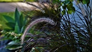 29th Mar 2020 - Soft Feathery Grasses ~