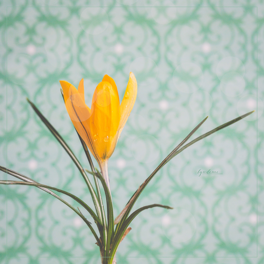 Spring Crocus by lyndemc