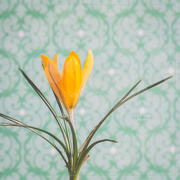 27th Mar 2020 - Spring Crocus