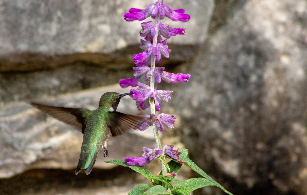 Hummingbird on Mexican Sage (Salvia) by gaylewood