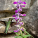 Hummingbird on Mexican Sage (Salvia)