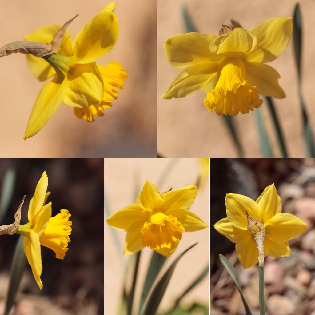daffodil by aecasey