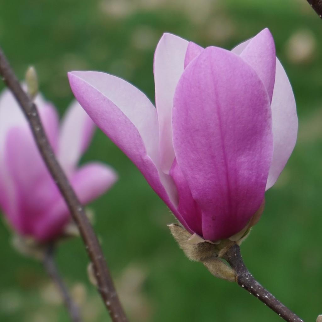 Magnolia blossoms by tunia
