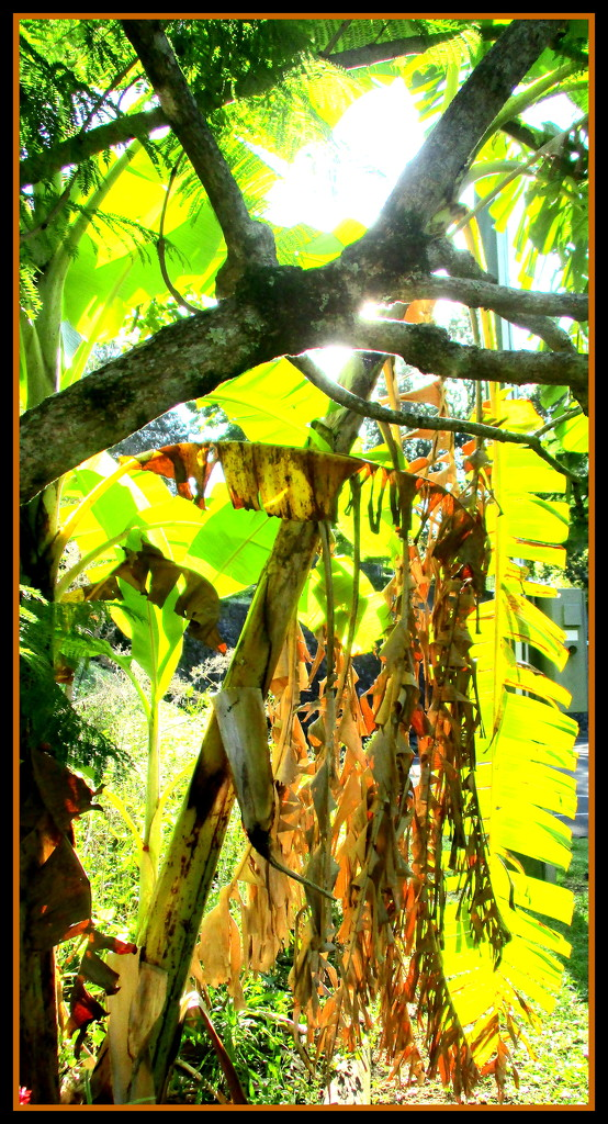 Banana leaves in the morning sun by 777margo