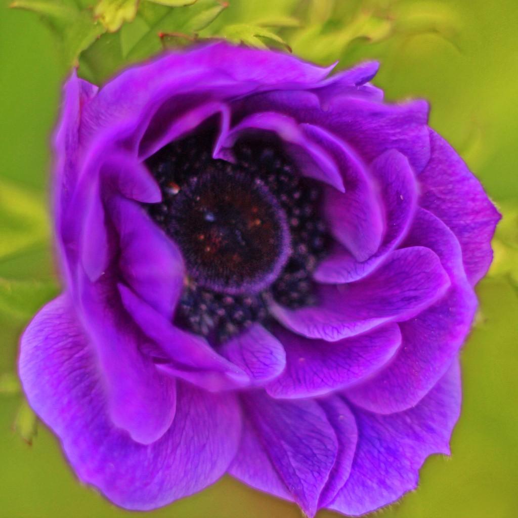 A Definite Violet by milaniet