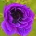 A Definite Violet