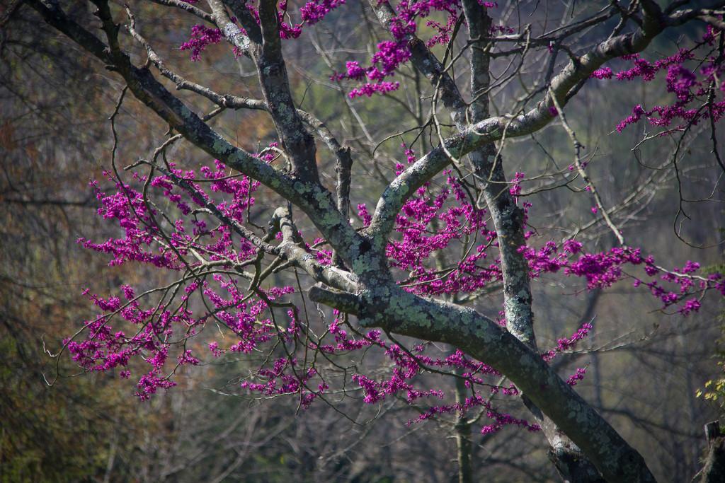 Purple Redbud blooms by randystreat