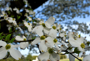28th Mar 2020 - Dogwood in the spring