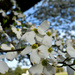 Dogwood in the spring