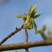 My tree leaves
