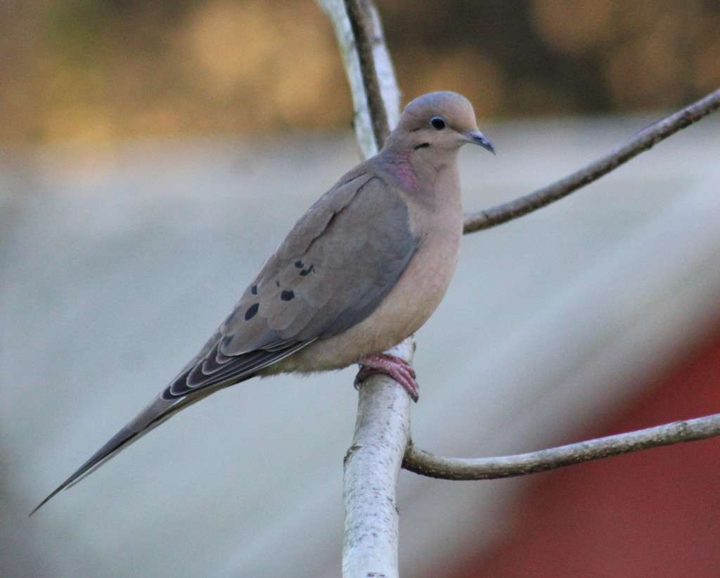 Mourning Dove by cjwhite