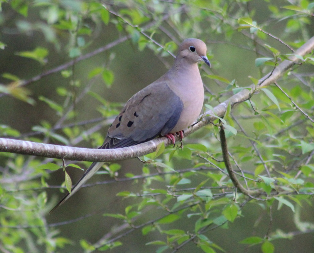 Dove by cjwhite