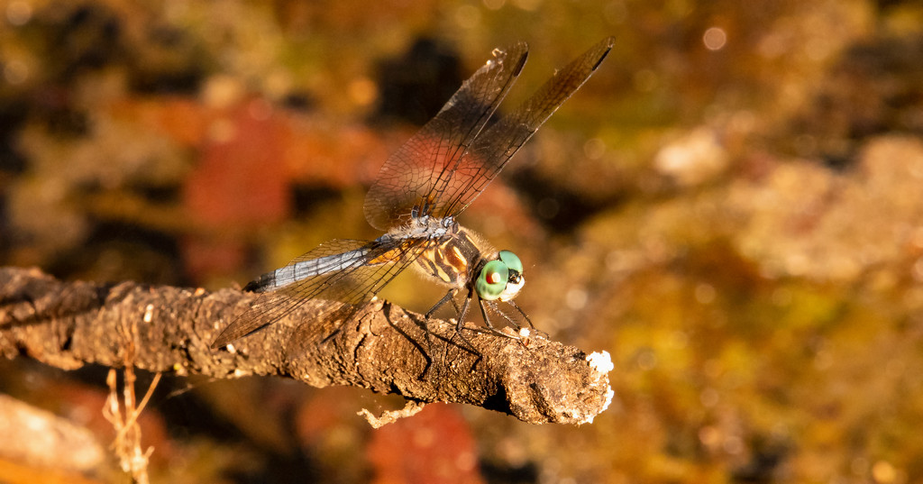 First Dragonfly for the Season! by rickster549