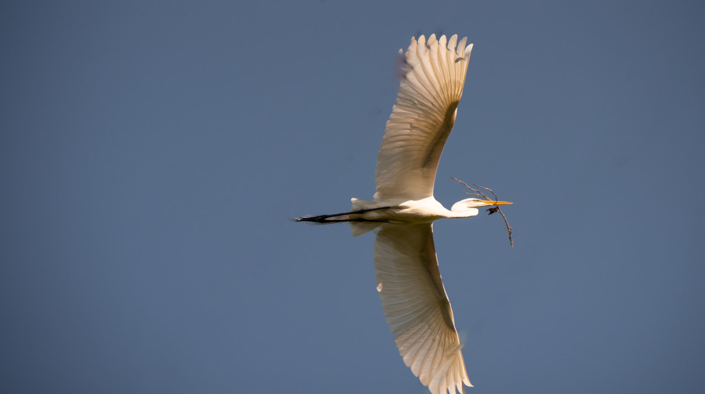 Got Another Egret Flyover! by rickster549