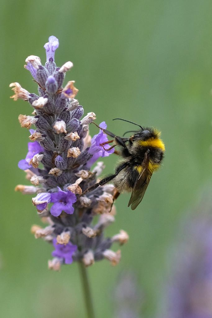 Bee in lavender by maureenpp