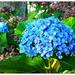 Blue Hydrangea...