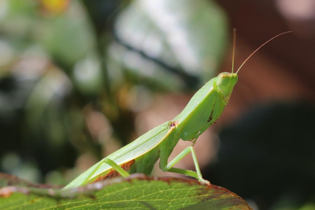 Preying Mantis - 2 by gilbertwood