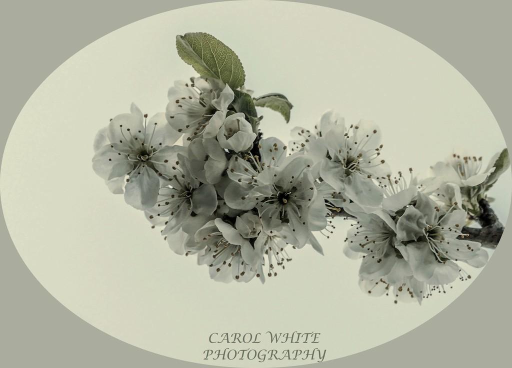 Plum Blossom by carolmw