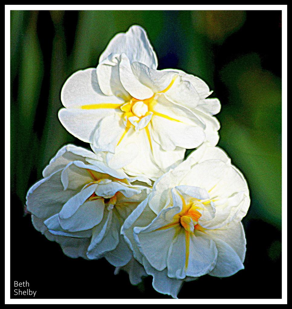 Narcissus by vernabeth