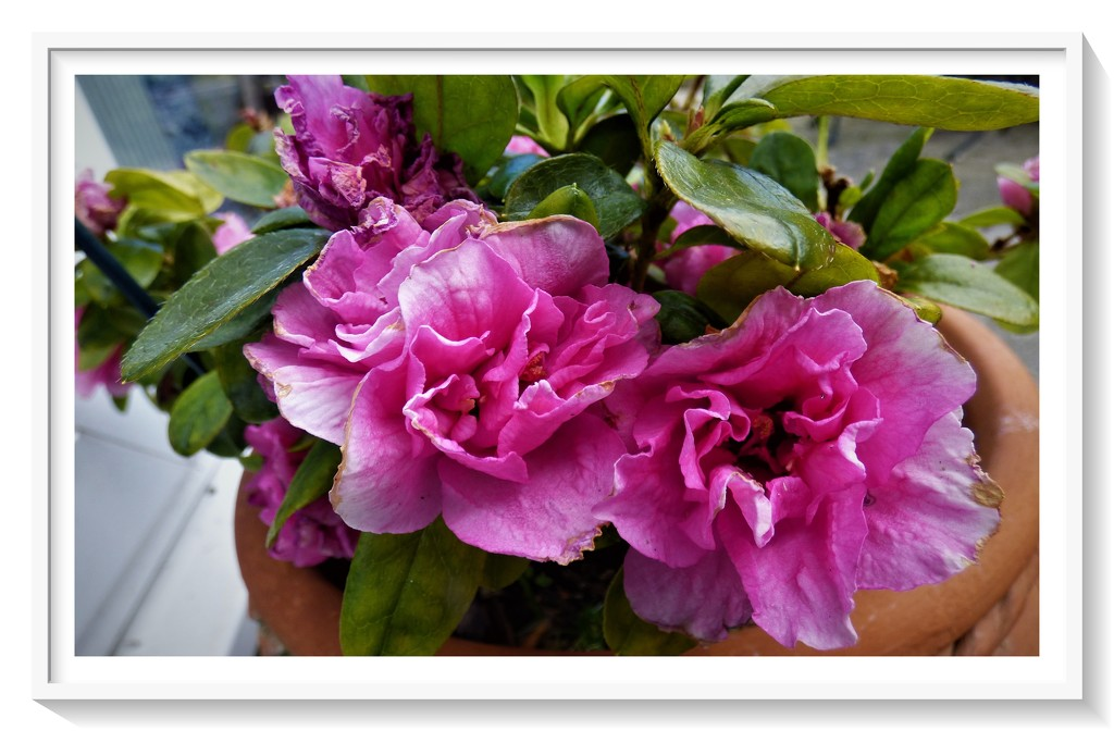 Pink Azalea by beryl