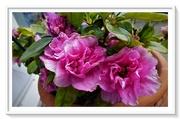 29th Mar 2020 - Pink Azalea