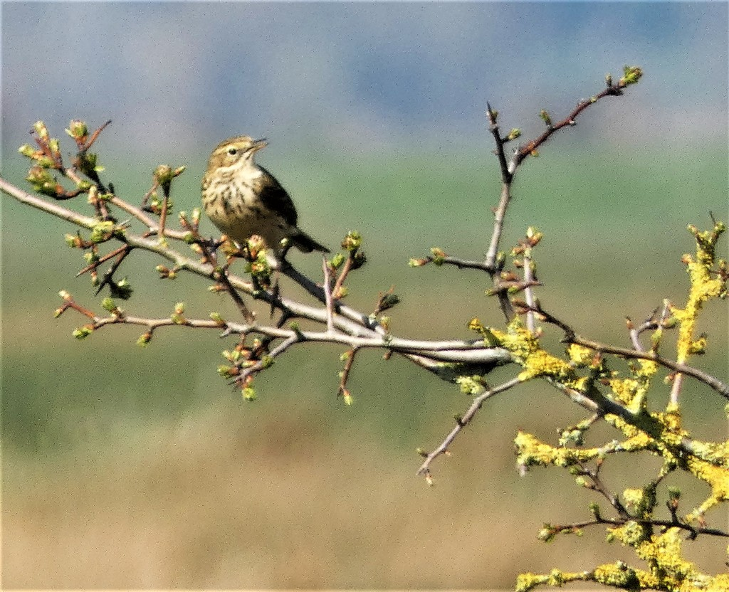 Meadow Pipit and new buds by julienne1