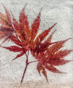 29th Mar 2020 - Red Maple Leaves
