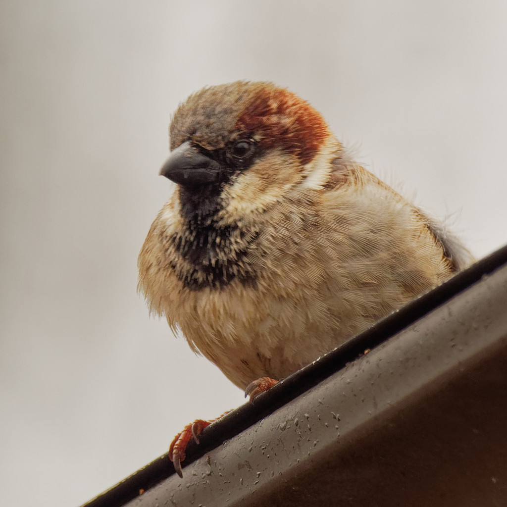 house sparrow by rminer