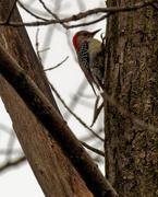 29th Mar 2020 - red-bellied woodpecker
