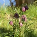 Snake's Head Fritillary by the Pond