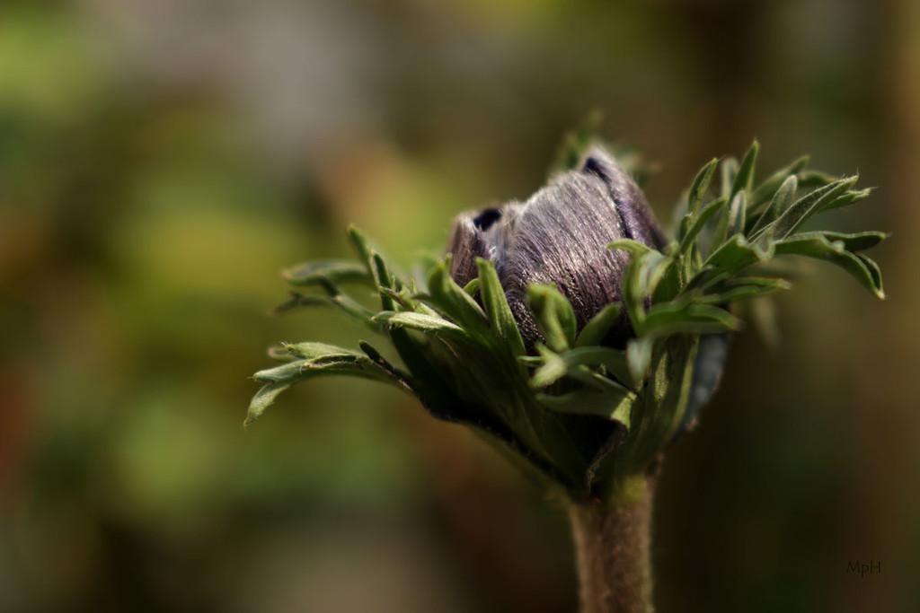 Anemone by cherrymartina