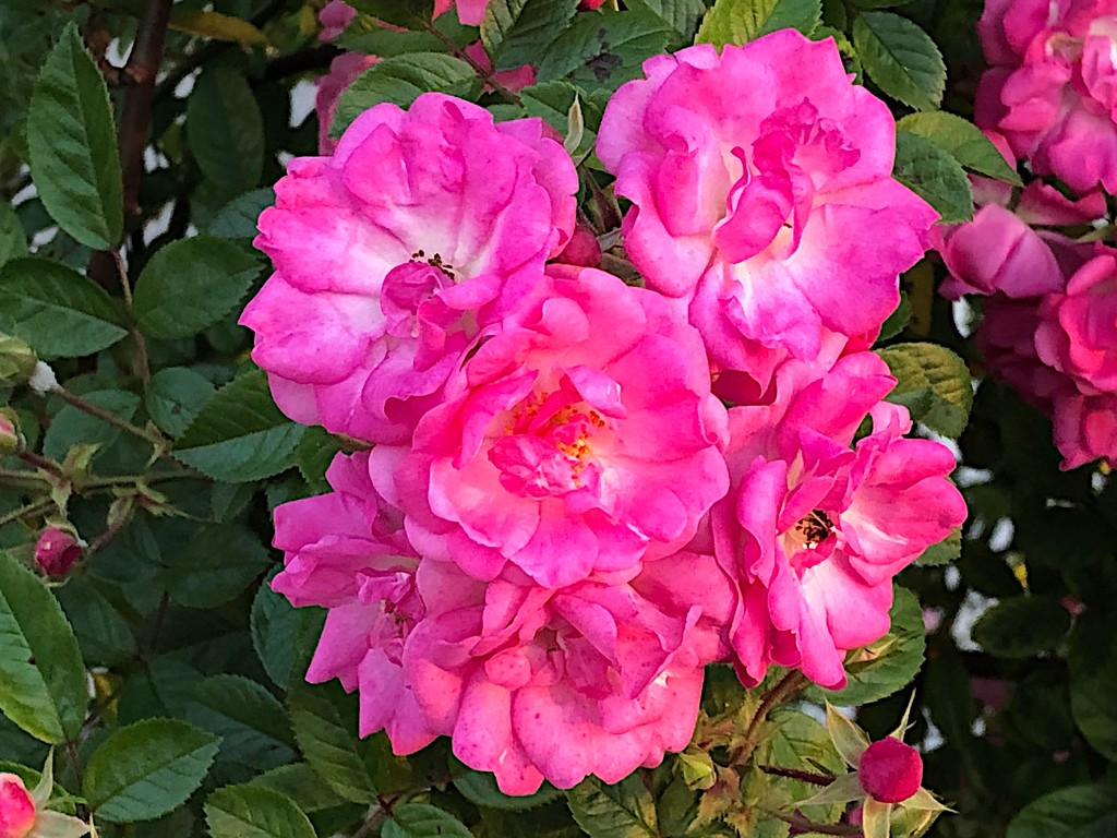 Garden rose, or Chinese rose by congaree