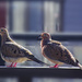 The Doves Are Back!