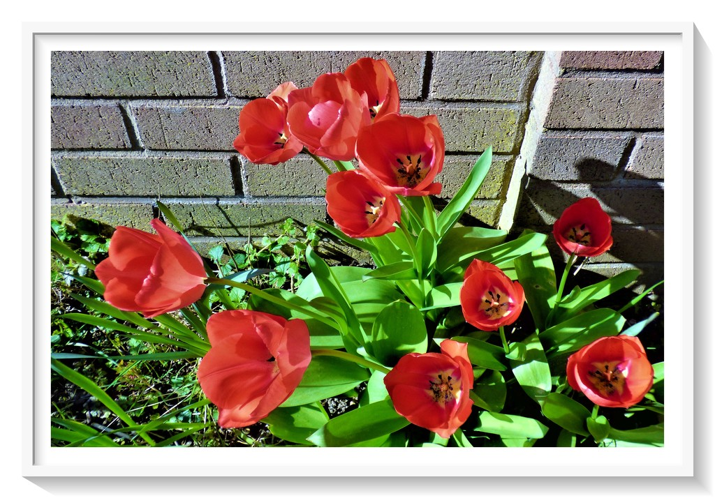 Red tulips by beryl