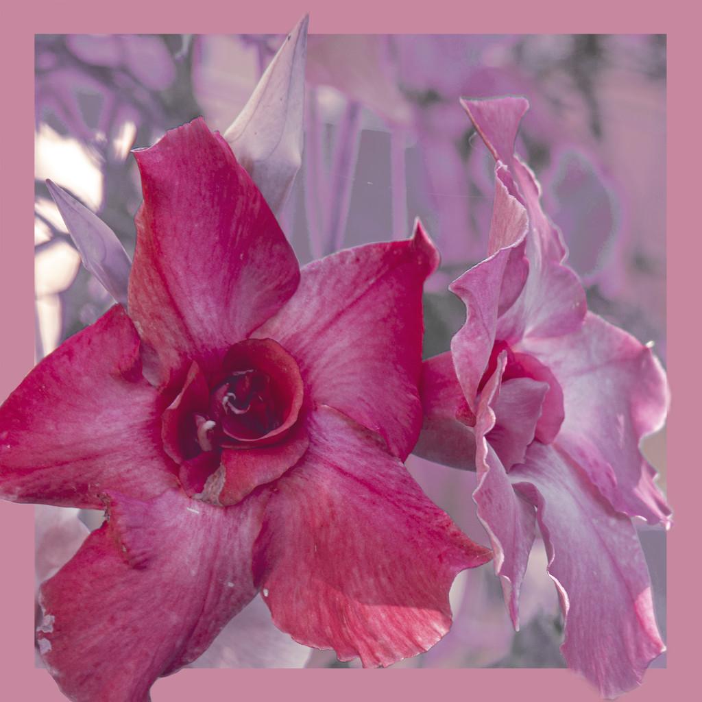 a pink flower by koalagardens