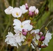 29th Mar 2020 - Cherry Blossom