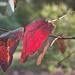 Red gum leaf  by fr1da
