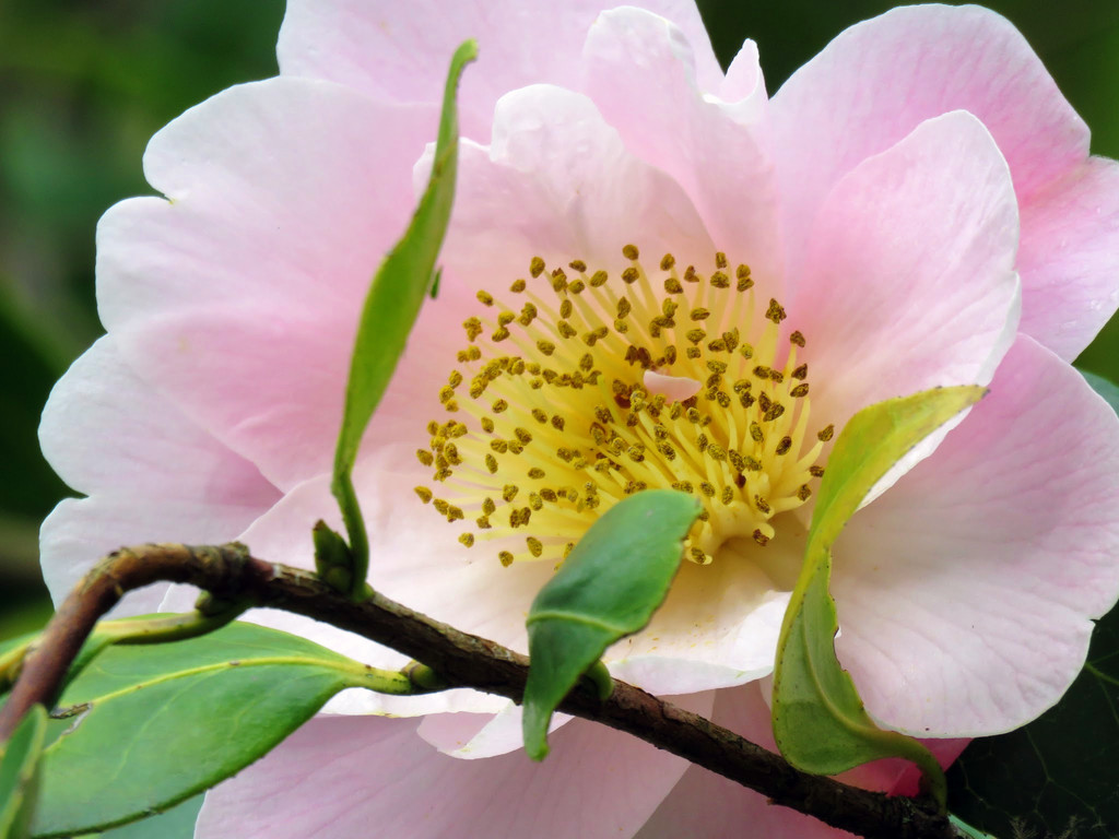 Camellia by seattlite