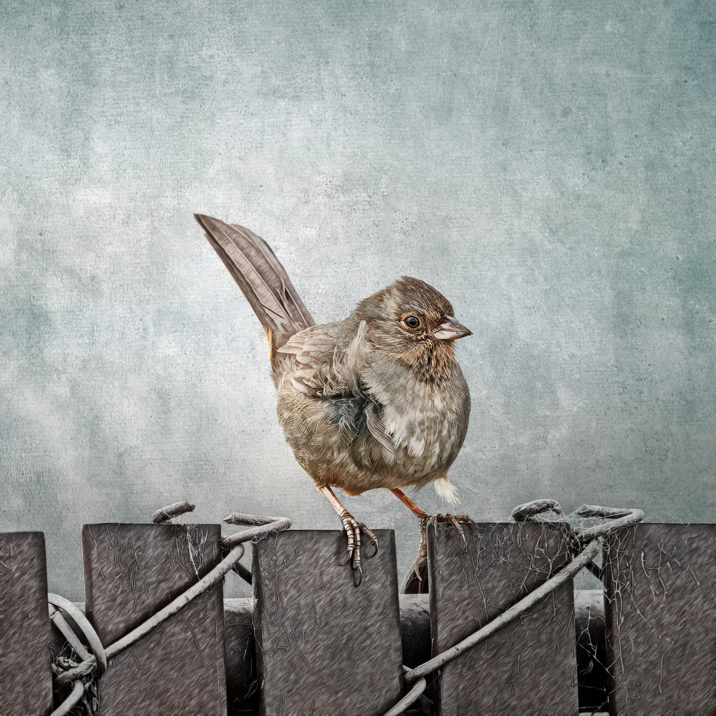 California Towhee on the Fence by mikegifford