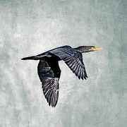 28th Mar 2020 - Double Crested Cormorant Wings Down