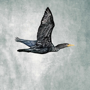 29th Mar 2020 - Double Crested Cormorant Wings Up