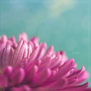 30th Mar 2020 - Pink Petals
