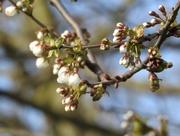 28th Mar 2020 - Blossom