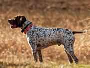 30th Mar 2020 - pointer dog