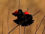 30th Mar 2020 - Red-winged blackbird