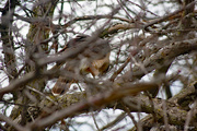 30th Mar 2020 - Red-tailed hawk1