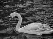 30th Mar 2020 - Park swan